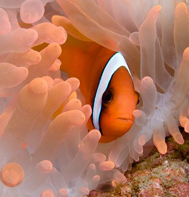 Percula clownfish hiding in coral underwater