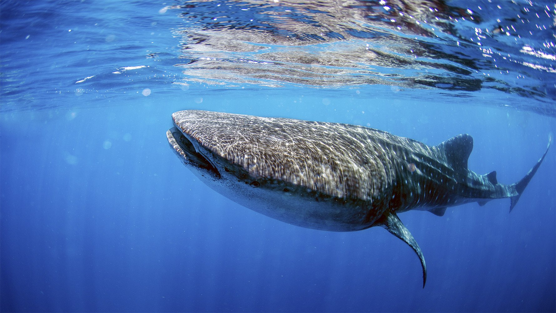 adult whale shark swimming