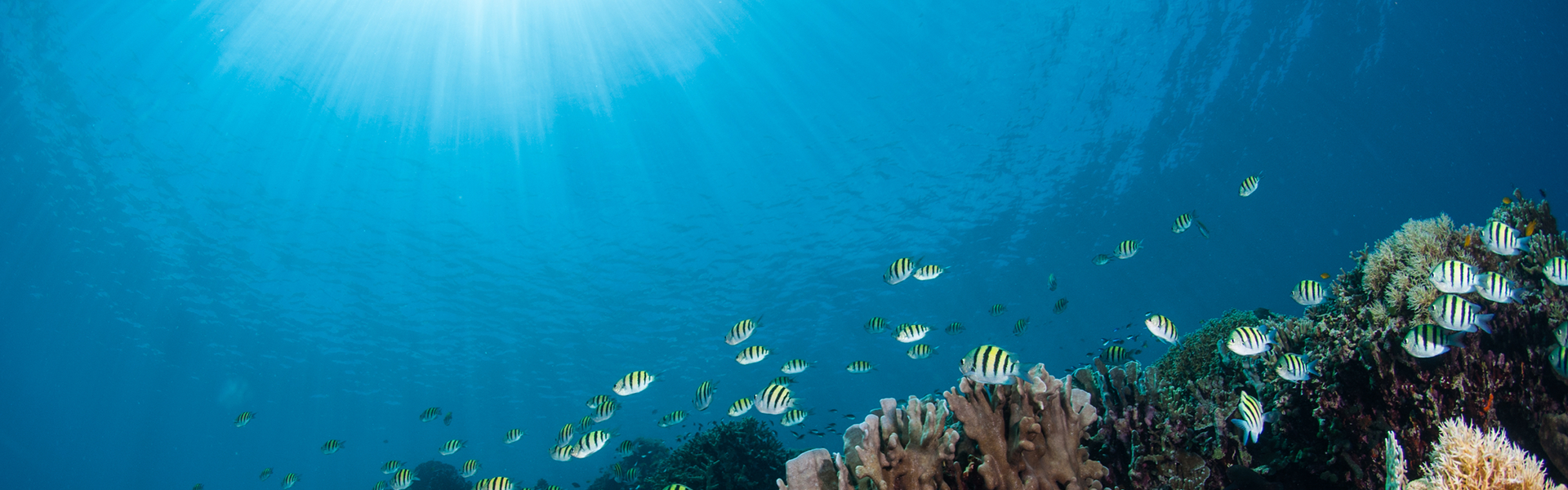 a school of golden trevally swimming near the corals